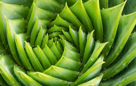 Spiral aloe vera with water drops, closeup